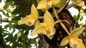 Rare orchid comes into bloom at Treborth botanic gardens